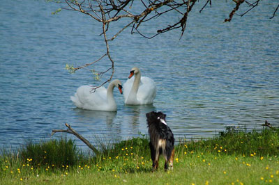 Dog looking at ducks in the lake