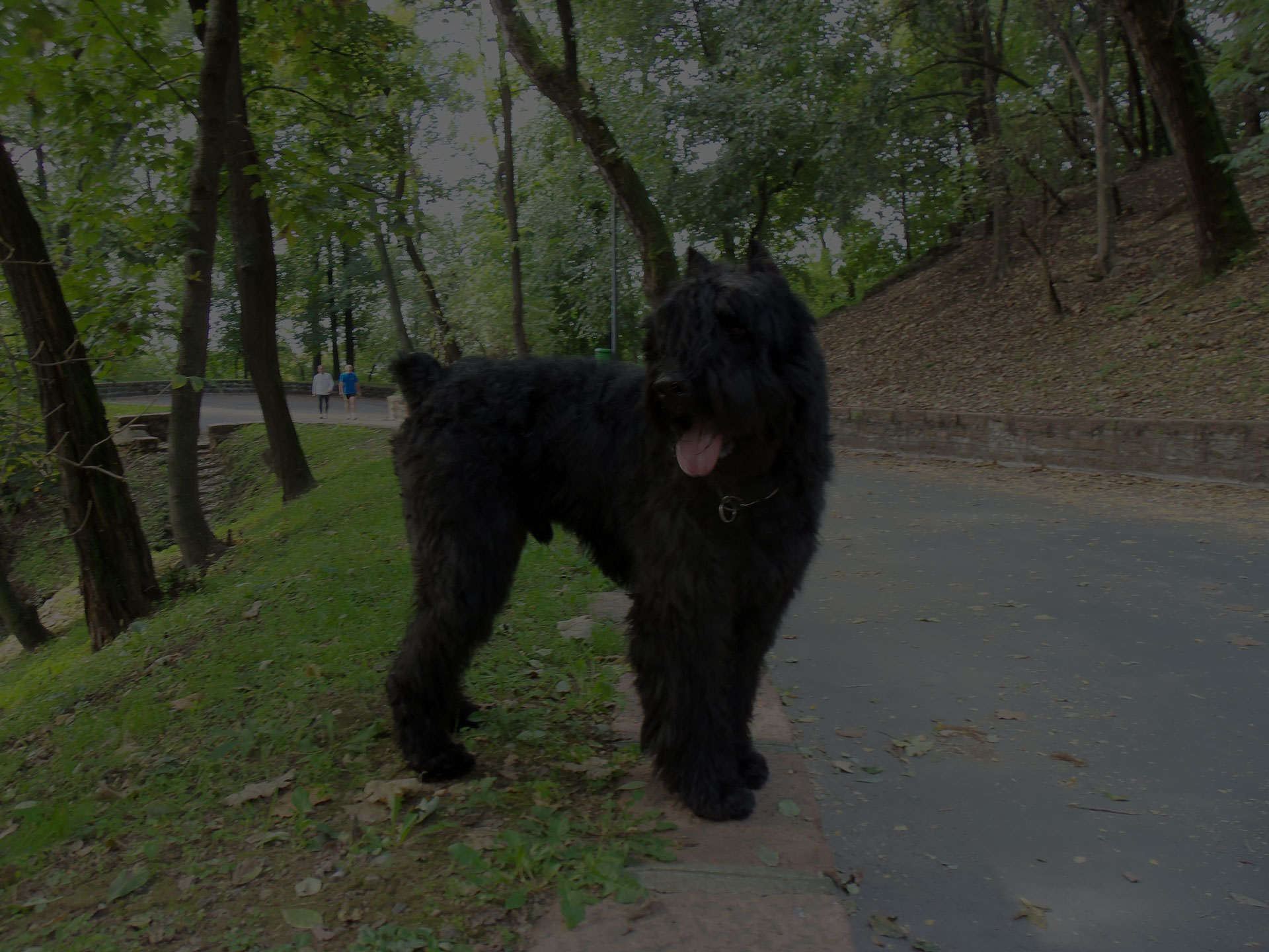 Black dog on road